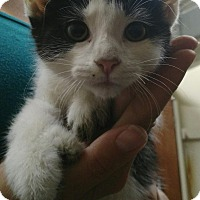 Adopt A Pet :: Kittens - East McKeesport, PA
