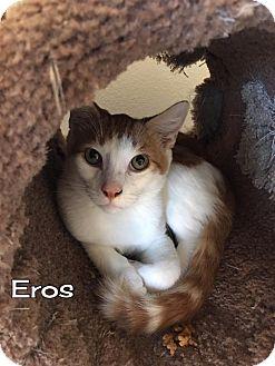 Domestic Shorthair Kitten for adoption in Rosamond, California - Eros