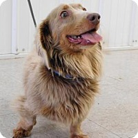 Dachshund Dog for adoption in Freeport, Illinois - Perry