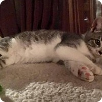 Domestic Mediumhair Kitten for adoption in Washington, D.C. - Frannie (Needs Foster)