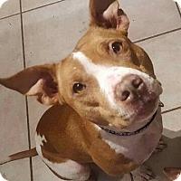 Adopt A Pet :: Digit - Colorado Springs, CO