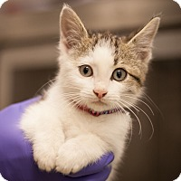 Adopt A Pet :: Twoey - Dallas, TX