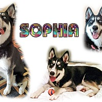 Adopt A Pet :: Sophia - Seminole, FL