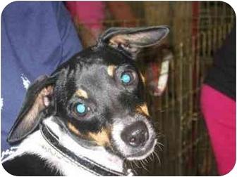 Rat Terrier Dog for adoption in Youngsville, Louisiana - Nut Meg 'Meggie'