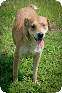 Labrador Retriever/Hound (Unknown Type) Mix Dog for adoption in Meridian, Mississippi - Catie