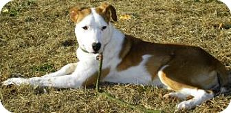 Fox Terrier (Smooth)/Terrier (Unknown Type, Medium) Mix Dog for adoption in Lincolnton, North Carolina - Sweet Pea