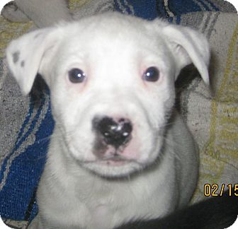 Border Collie/Bull Terrier Mix Puppy for adoption in Chicago, Illinois - Bambi(ADOPTED!)