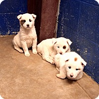 Adopt A Pet :: Great Pyrenees Litter - Westminster, CO