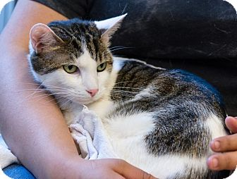 Domestic Shorthair Cat for adoption in New York, New York - Ozzy