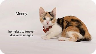 Calico Cat for adoption in Arcadia, California - Meeny