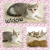 Adopt A Pet :: Widow - DOVER, OH