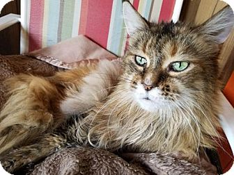 Maine Coon Cat for adoption in Grand Blanc, Michigan - Tawny