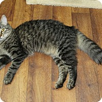 Domestic Mediumhair Cat for adoption in Youngsville, North Carolina - Nala