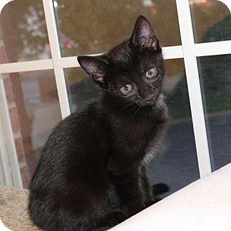 Domestic Shorthair Kitten for adoption in Merrifield, Virginia - Simone