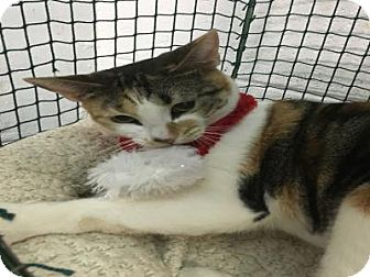 Domestic Mediumhair Cat for adoption in West Palm Beach, Florida - COOKIE
