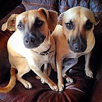 Black Mouth Cur Dog for adoption in San Diego, California - Vivian