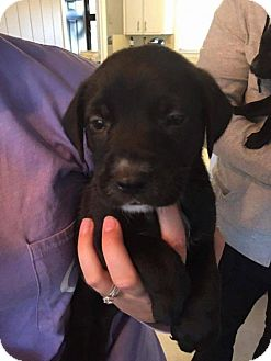 Pit Bull Terrier Mix Puppy for adoption in Charlotte, North Carolina - Zinfandel