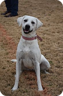Labrador Retriever Mix Dog for adoption in Nyack, New York - Maggie