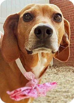Beagle/Dachshund Mix Dog for adoption in Gahanna, Ohio - ADOPTED!!!   Lucy