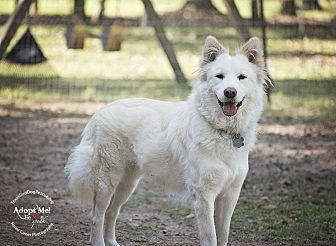 Siberian Husky/Shepherd (Unknown Type) Mix Dog for adoption in Sugar Land, Texas - Sadie