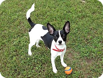 Rat Terrier Mix Dog for adoption in Hamilton, Ontario - Patty