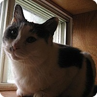 Domestic Shorthair Cat for adoption in Toronto, Ontario - Izzie