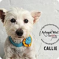 Adopt A Pet :: Callie Colleen - Omaha, NE