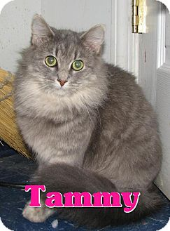Domestic Shorthair Cat for adoption in Lawrenceburg, Kentucky - #3758 Tammy