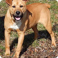 Adopt A Pet :: Bullet(60 lb)URGENT Sweetie - Sussex, NJ