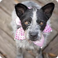 Adopt A Pet :: Simone - Kingwood, TX