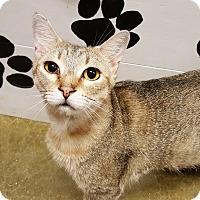 Domestic Shorthair Cat for adoption in Smithfield, North Carolina - Ezra
