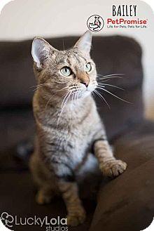 Domestic Shorthair Cat for adoption in Columbus, Ohio - Bailey