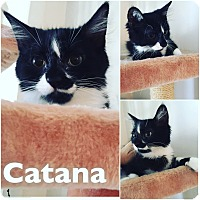 Domestic Longhair Kitten for adoption in St Clair Shores, Michigan - Catana