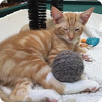 Adopt A Pet :: MOE (ORANGE KITTEN 1) - Burlington, NC