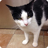Domestic Shorthair Cat for adoption in Palm desert, California - Harmony