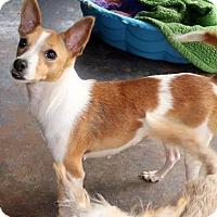 Adopt A Pet :: Tootsie - New City, NY