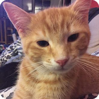 Domestic Shorthair Kitten for adoption in Verdun, Quebec - Prince