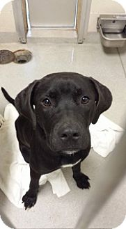 Labrador Retriever/Pit Bull Terrier Mix Dog for adoption in Joplin, Missouri - Holly 110486