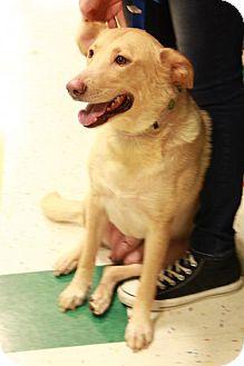 Labrador Retriever Dog for adoption in Morganville, New Jersey - Riley (golden lab mix)