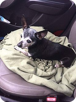 Chihuahua Dog for adoption in Weatherford, Texas - Mojo