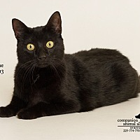 Domestic Shorthair Cat for adoption in Baton Rouge, Louisiana - Jasmine