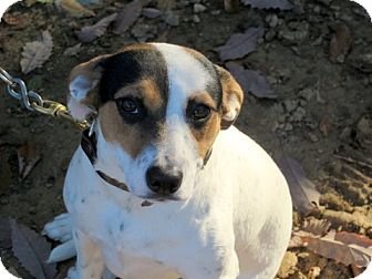 Jack Russell Terrier/Hound (Unknown Type) Mix Dog for adoption in Glastonbury, Connecticut - Leslie~adopted!