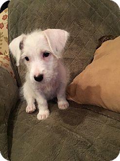 Corgi/Miniature Schnauzer Mix Puppy for adoption in Arlington, Massachusetts - Olaf