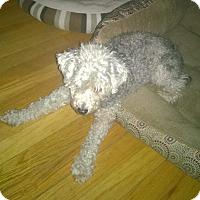 Adopt A Pet :: Abigail - Frankfort, IL