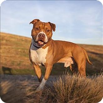 American Staffordshire Terrier Mix Dog for adoption in Raleigh, North Carolina - Nigel
