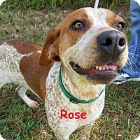 Adopt A Pet :: Rose- HW+ Coming 1/21 - Elburn, IL