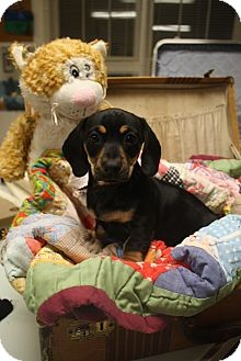 Dachshund Mix Dog for adoption in Homewood, Alabama - Jase