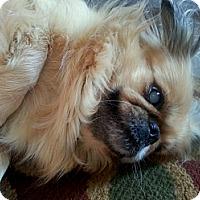 Adopt A Pet :: Sprinkles the Pekingese - Sacramento, CA