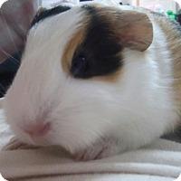 Adopt A Pet :: Cord - Fullerton, CA