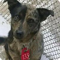 Adopt A Pet :: Jester the Catahoulah - Midlothian, VA